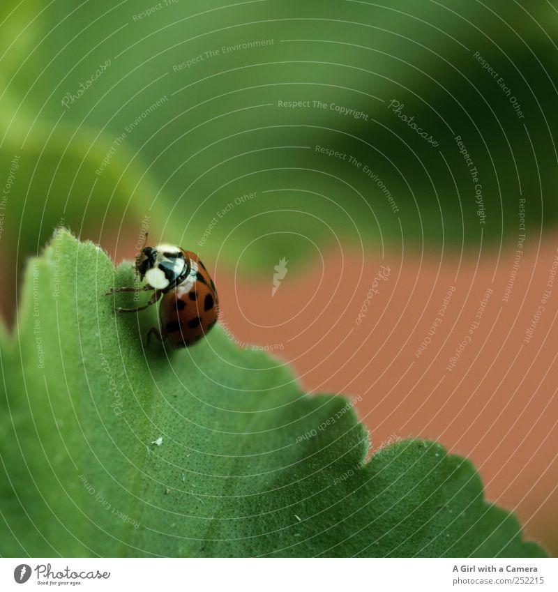 ladybug invasion Natur schön rot Blatt Tier Garten Bewegung klein glänzend Suche wild Insekt Käfer krabbeln Marienkäfer