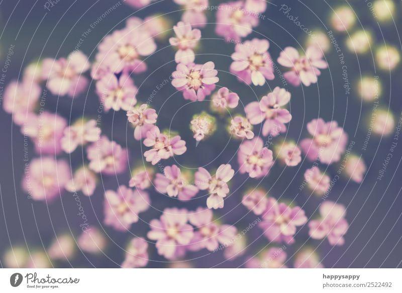 feine Blüten Pflanze Blume Gefühle Stimmung Romantik rosa sanft Farbfoto Gedeckte Farben Außenaufnahme