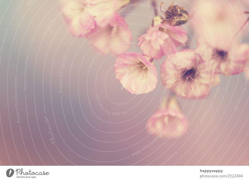 Soft Rosa Blüte schön harmonisch Erholung Pflanze Blume Gefühle Glück Fröhlichkeit Zufriedenheit Lebensfreude Frühlingsgefühle Liebe Verliebtheit Romantik