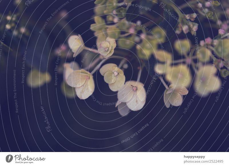 Hortensie Blüte Pflanze Sommer Blume Stimmung Romantik Natur ruhig Schutz Farbfoto Gedeckte Farben Außenaufnahme Nahaufnahme Detailaufnahme Makroaufnahme