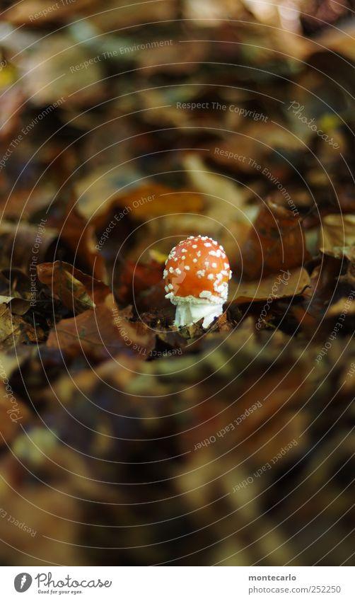 Glückspilz Natur weiß schön rot Blatt Umwelt Herbst braun Erde Schönes Wetter Jahreszeiten Fliegenpilz