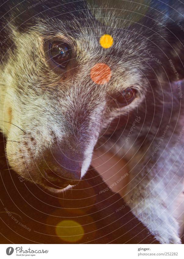 So schön verstrahlt. [CHAMANSÜLZ 2011] Tier Haustier Hund alt außergewöhnlich trashig grau Auge Punkt Lichtpunkt Blendenfleck mehrfarbig Freundlichkeit tragen