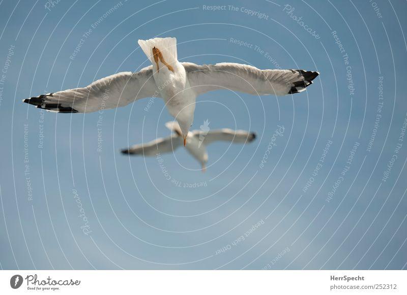 Doppeldecker Himmel blau weiß Tier Freiheit Vogel Tierpaar Fliege Flügel Schönes Wetter Segeln Möwe parallel harmonisch verfolgen gleiten