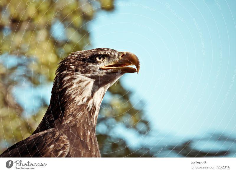 wachsam Umwelt Natur Himmel Tier Wildtier Vogel Tiergesicht Adler Schnabel Auge 1 beobachten ästhetisch außergewöhnlich elegant blau braun selbstbewußt Erfolg