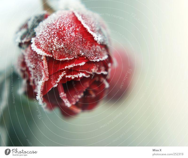 frozen Herbst Winter schlechtes Wetter Eis Frost Rose Blatt Blüte frieren kalt Ende Verfall Vergänglichkeit Raureif Schneekristall Rosenblätter Rosenblüte rot