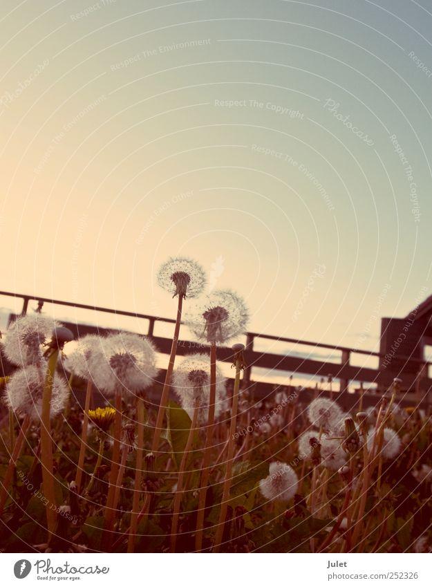 Pusteblume Natur Pflanze Blume Tier Erholung Wiese Umwelt Landschaft Feld retro Löwenzahn Wolkenloser Himmel nur Himmel