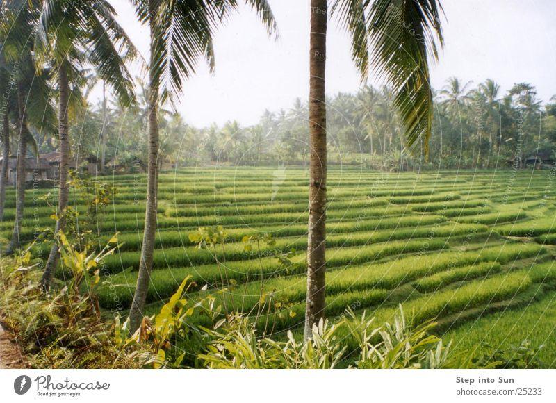 Reisterrasse Natur Pflanze Berge u. Gebirge Asien Landwirtschaft Ackerbau Bali Indonesien Reisfeld