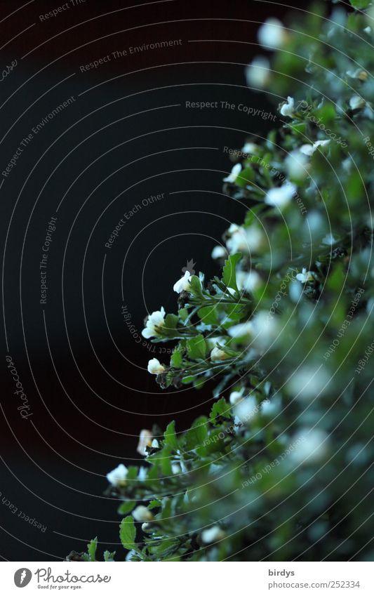 Nachtschatten Pflanze Blühend natürlich grün schwarz weiß Natur Perspektive Blüte Blatt klein viele Kontrast dunkel dunkelgrün Blume weiße Blüten diagonal