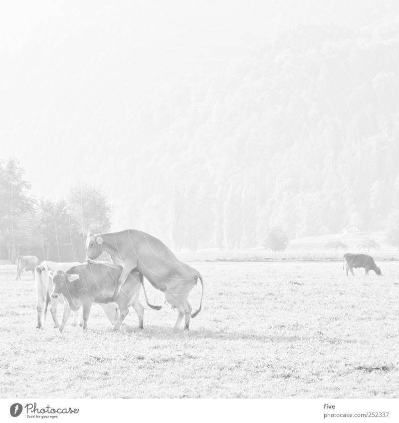 cows Natur Baum Pflanze Tier Landschaft Wiese Spielen hell Feld Tiergruppe Sträucher Schönes Wetter Hügel Kuh Herde Grünpflanze