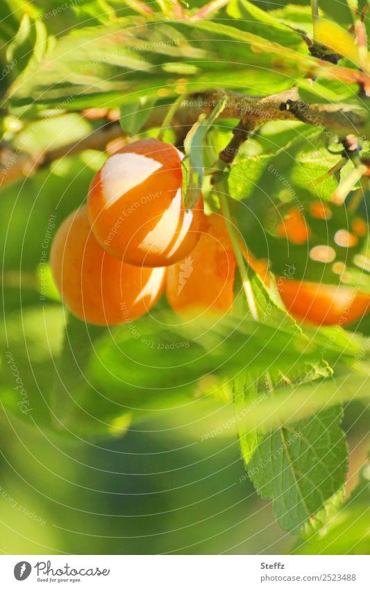 Zuckersüß Lebensmittel Frucht Mirabelle Pflaume Bioprodukte Natur Sommer Herbst Pflaumenbaum Pflaumenblatt Zweig Obstbaum Garten Obstgarten lecker saftig schön
