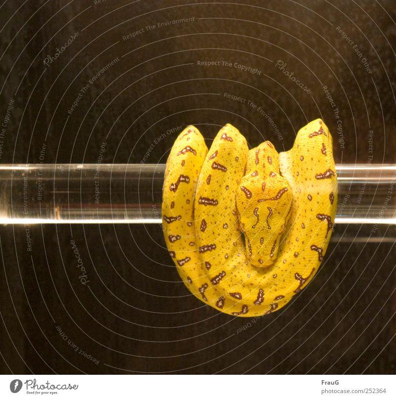 aufgewickelt ruhig Tier gelb braun Glas beobachten Schlange