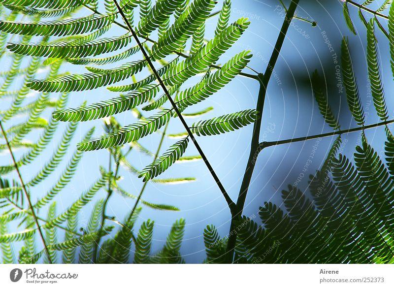 Sensibelchen Himmel Natur blau grün Pflanze Blatt Umwelt Wachstum Sträucher zart Zweig zierlich Grünpflanze sensibel Mimose Mimosengewächse