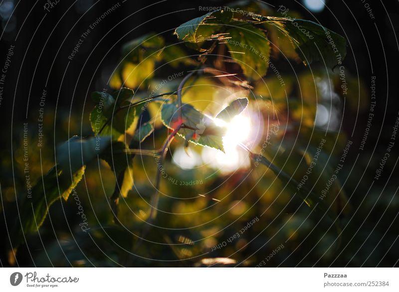 Waldlicht Umwelt Pflanze Sommer Schönes Wetter Blatt entdecken Waldlichtung Zweig Ast grün Farbfoto Außenaufnahme Menschenleer Sonnenstrahlen Gegenlicht