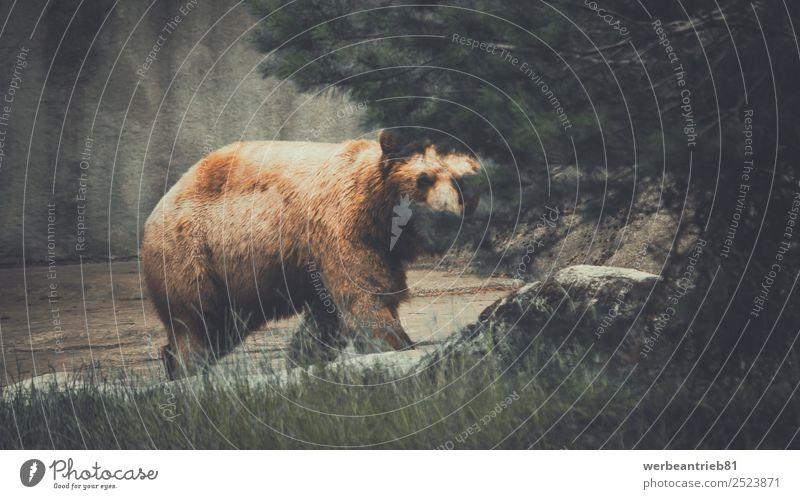Der Verfolger Zoo Natur Tier Park Wald Wildtier wild braun Kraft gefährlich Bär Braunbär Jäger angriffslustig lauernd bedrohlich Tierwelt Säugetier Gefahr groß
