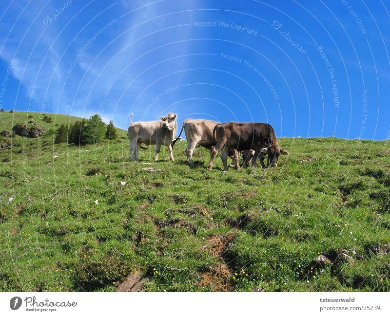Drei Kühe und ein Himmel der blau macht Gras Kuh Weide Bulle
