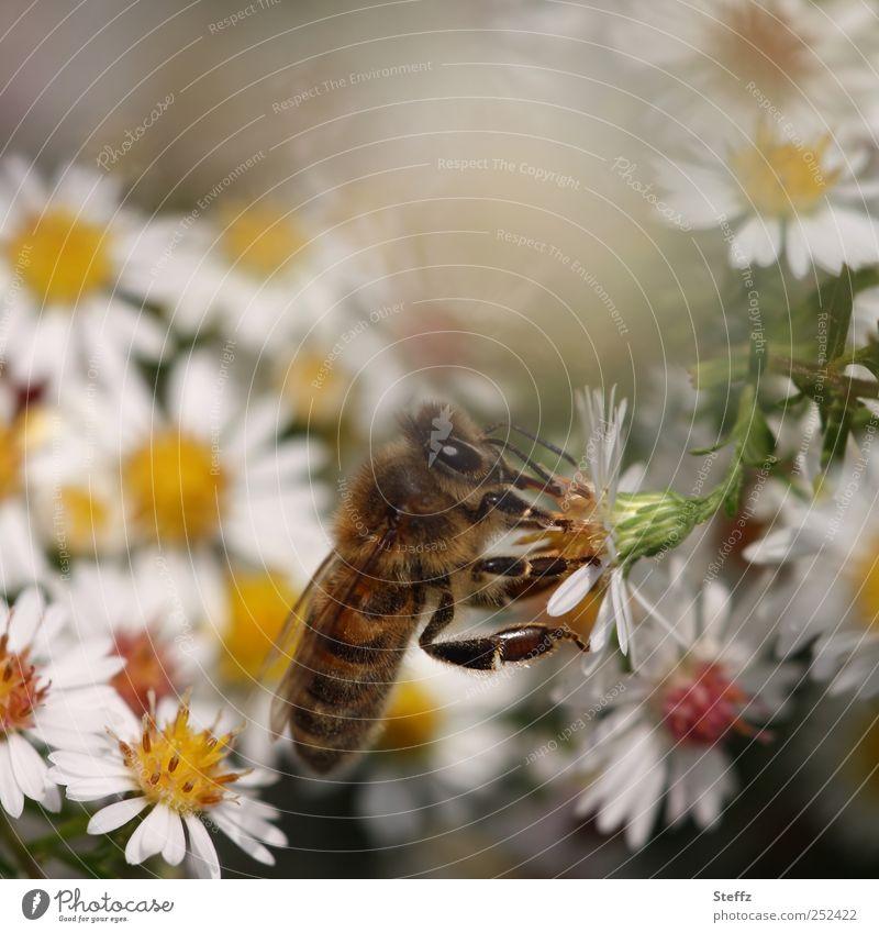 angedockt an eine Asterlei Astern Biene Insekt Duft herbstlich Leichtigkeit Blume Blütenblatt andocken Herbstangang Fressen krabbeln weiß Herbstbeginn natürlich