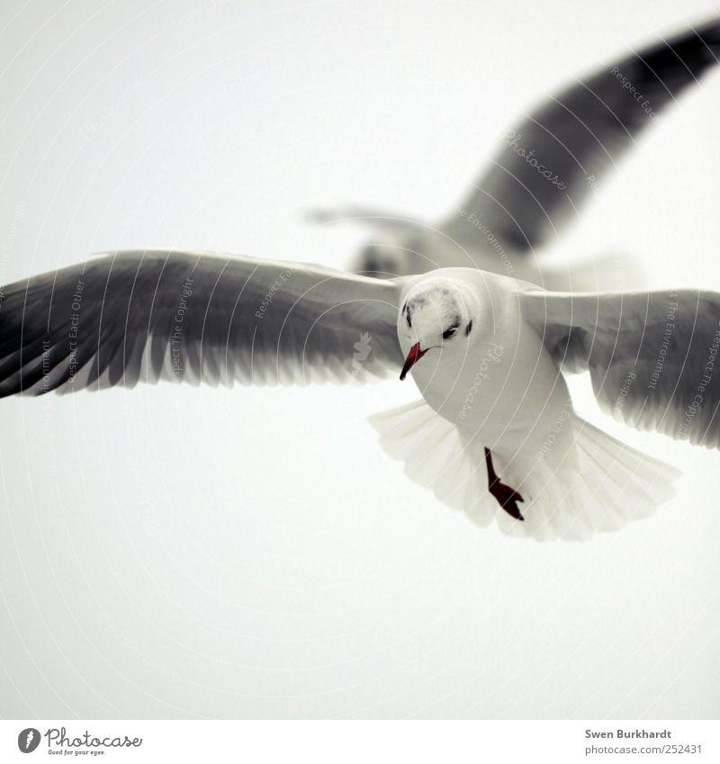 Ein einbeiniger konnte Grönland durchqueren. Himmel Natur weiß Ferien & Urlaub & Reisen Sommer Meer Tier Umwelt grau Luft Horizont Vogel Nebel fliegen Tierpaar Wildtier
