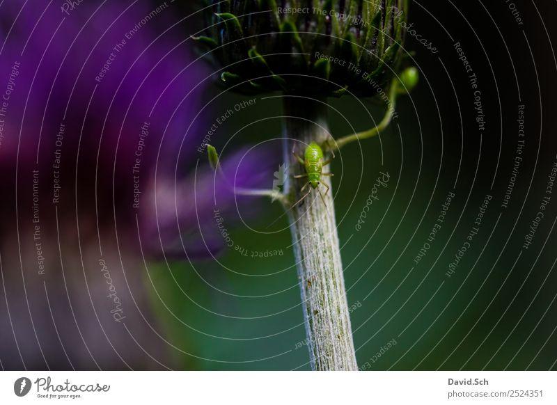Blattlaus auf einer Distel Natur Pflanze 1 Tier krabbeln laufen grün violett Blattläuse Pflanzenschädlinge Befall Pflanzensauger Farbfoto Nahaufnahme