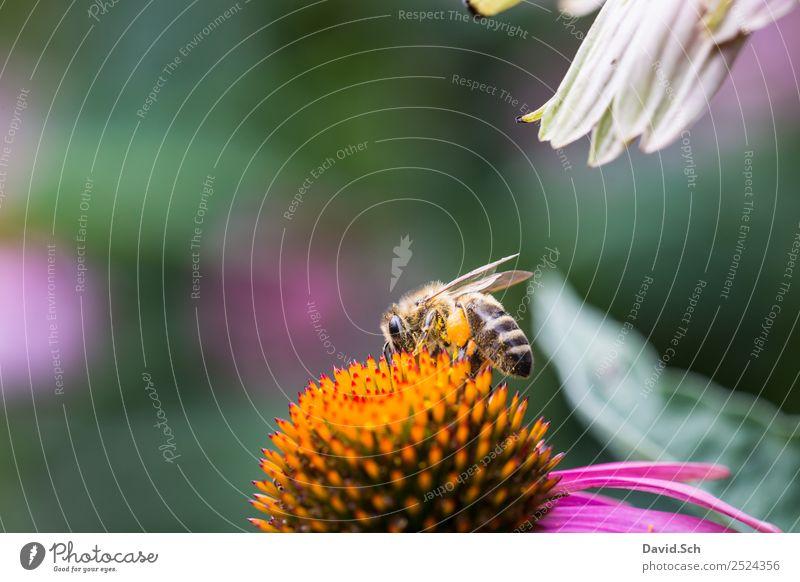 Biene auf einer Blüte Natur Pflanze Tier Blume Wildtier Flügel Behaarung Insekt Arbeit & Erwerbstätigkeit berühren Fressen krabbeln nah gelb grün violett orange