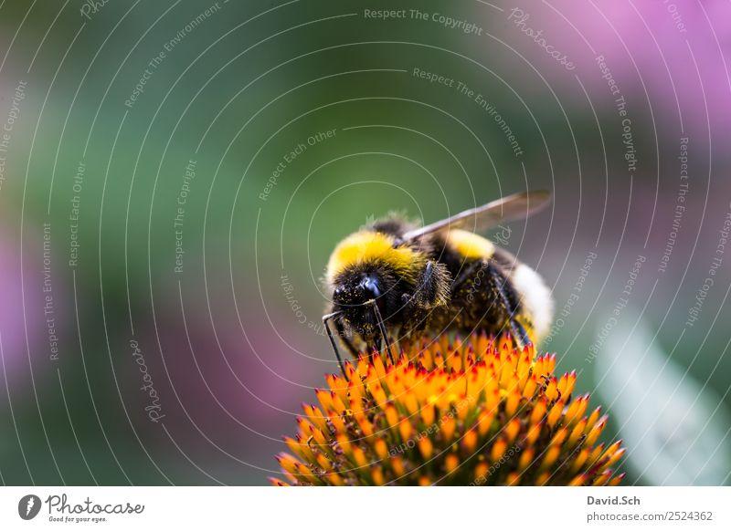 Hummel auf einer Blüte Natur Pflanze Tier Blume Pollen Wildtier Behaarung Insekt Auge 1 Arbeit & Erwerbstätigkeit berühren Fressen krabbeln gelb grün violett