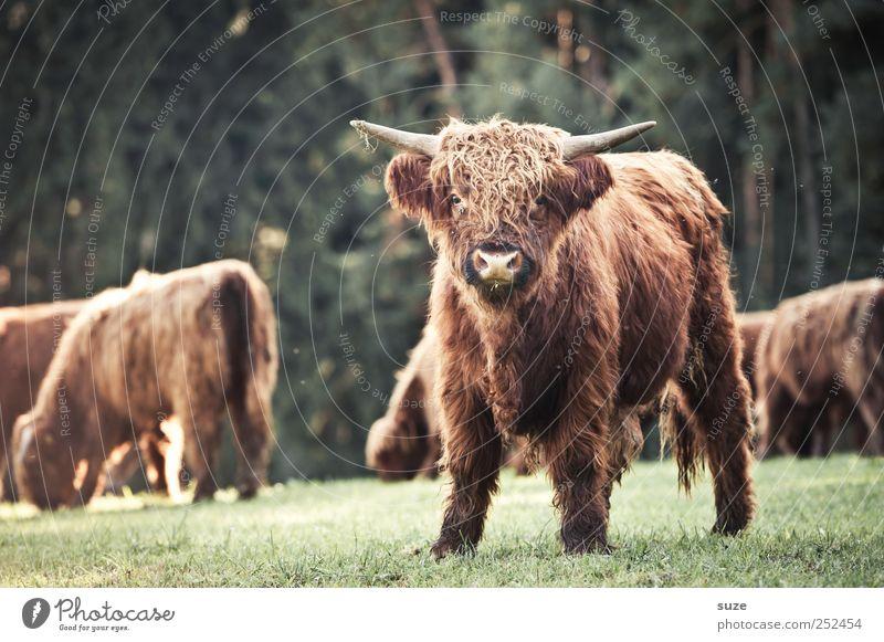 Komm kuscheln! Umwelt Natur Tier Wiese Feld Fell Nutztier Tiergesicht 1 Tiergruppe Herde Tierjunges kuschlig lustig niedlich Kalb Rind Weide Landleben Büffel