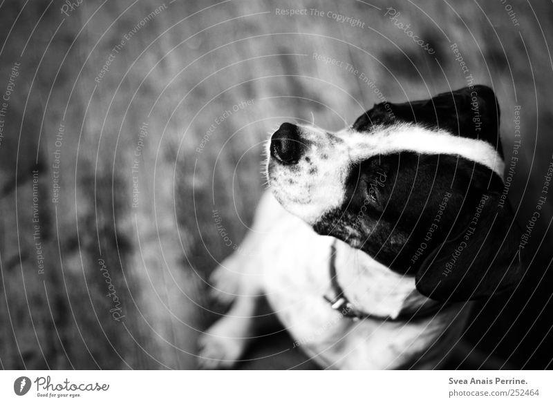 lina. Boden Holzfußboden Tier Haustier Hund Boxer Mischling 1 sitzen Traurigkeit Sehnsucht Heimweh Fernweh Schwarzweißfoto Innenaufnahme Textfreiraum links