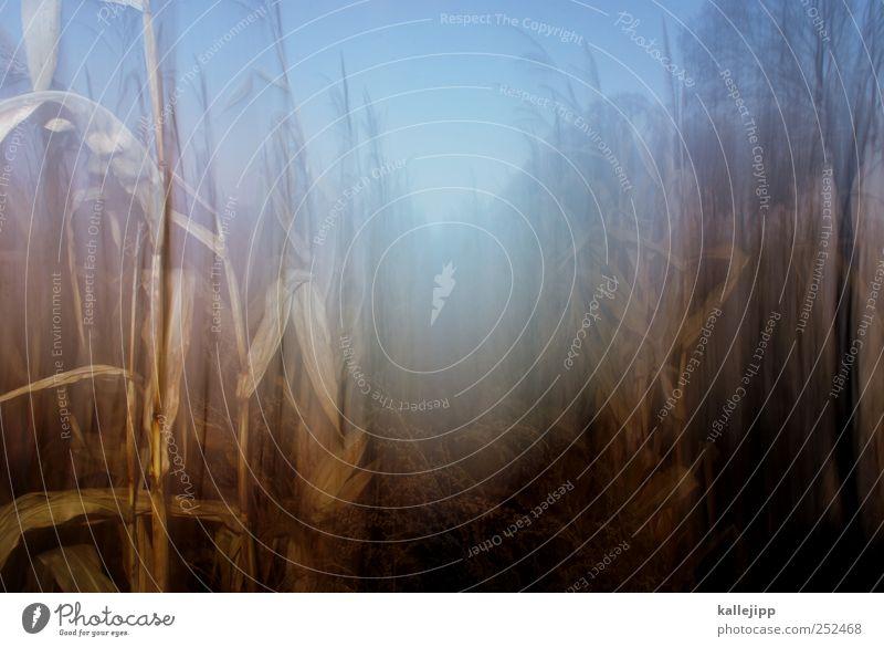 cornflakes Umwelt Natur Landschaft Pflanze Tier Klima Nutzpflanze Feld nachhaltig Maisfeld Landwirtschaft Ackerbau Bioprodukte Biologie Halloween Farbfoto