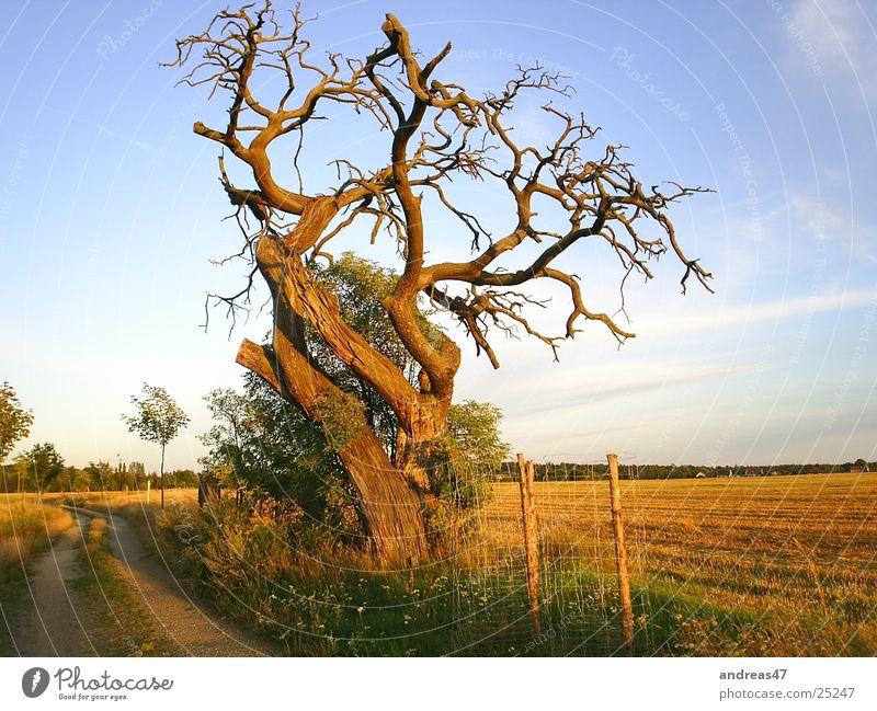 Baum im Abendlicht alt Denken erhaben Eiche