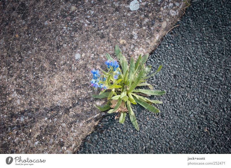 Pflanzenwuchs auf wenig geeigneten Untergrund Blatt Blüte Verkehrswege Beton Wachstum authentisch einfach fest grau grün schwarz Kraft Ausdauer