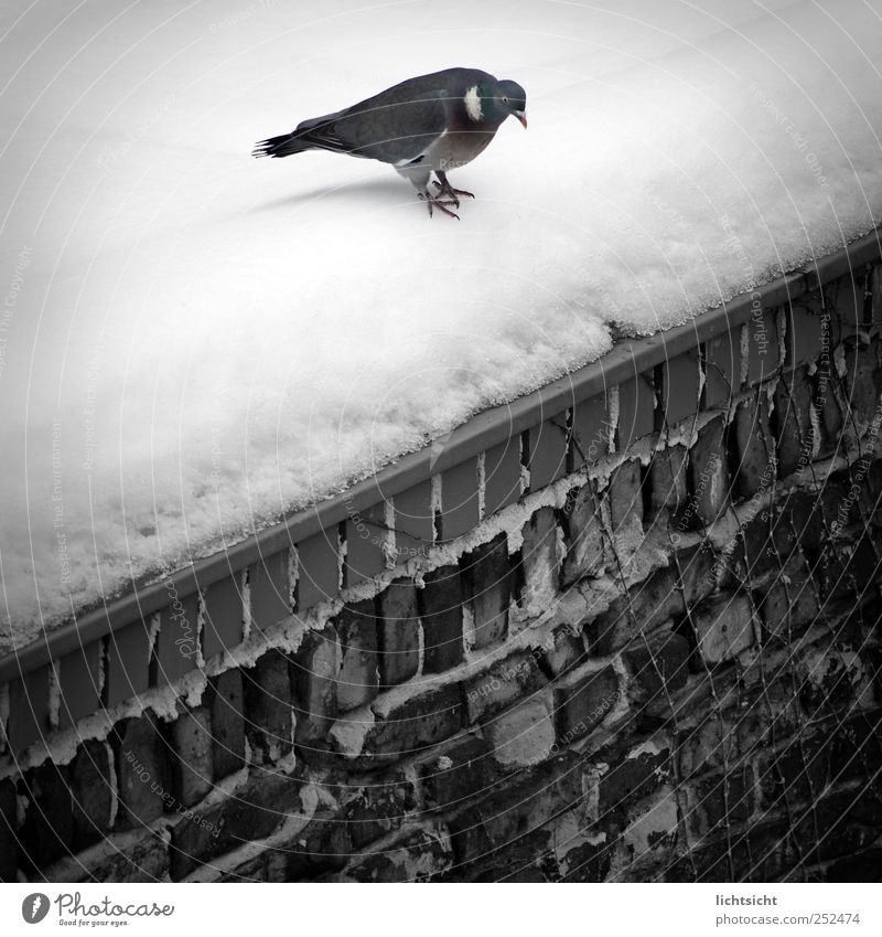 """""""scheißkalt, ich springe!!"""" Winter Wetter Eis Frost Schnee Mauer Wand Dach Tier Vogel Taube 1 springen Ecke Am Rand Schräger Vogel Neigung Backstein"""