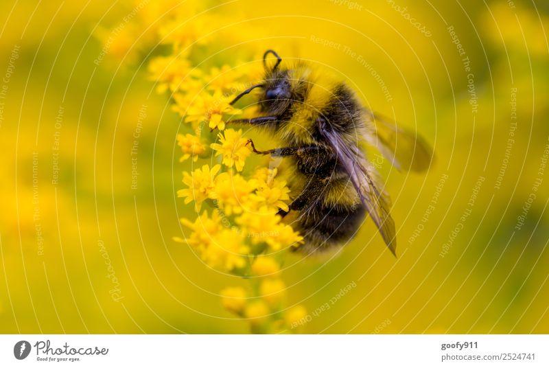 Hummelchen Natur Sommer Pflanze schön Blume Tier Umwelt Frühling Blüte Wiese Garten Arbeit & Erwerbstätigkeit Ausflug Park glänzend elegant