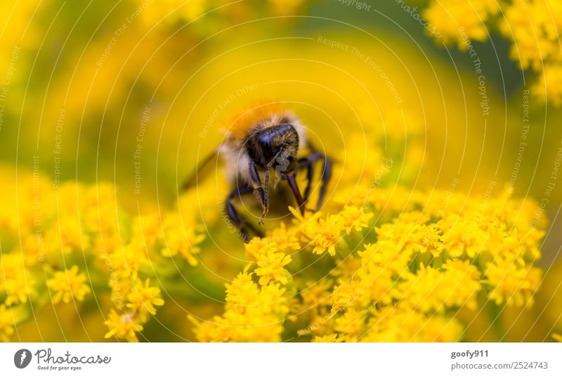 Hummel bei der Arbeit Ausflug Umwelt Natur Sonnenlicht Frühling Sommer Schönes Wetter Blume Blüte Garten Park Wiese Tier Nutztier Wildtier Tiergesicht Flügel