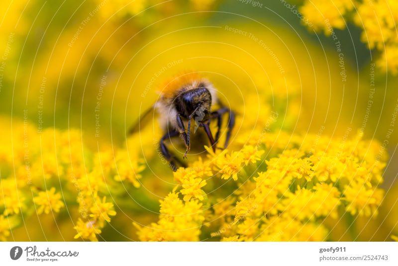 Hummel bei der Arbeit Natur Sommer Blume Tier Umwelt Frühling Blüte Wiese Garten Arbeit & Erwerbstätigkeit Ausflug Park Wildtier Schönes Wetter Blühend Flügel