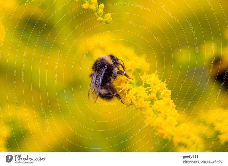 Fast oben.... Ausflug Umwelt Natur Sonnenlicht Frühling Sommer Blume Blüte Garten Park Wiese Tier Nutztier Wildtier Flügel Fell Hummel 1