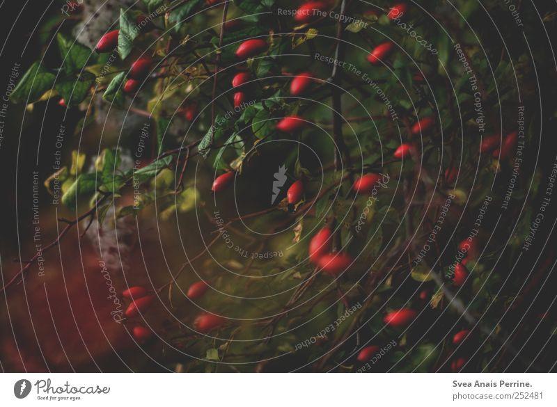 alles du. Herbst Pflanze Sträucher Hagebutten Beeren Ast Zweig natürlich Traurigkeit Trauer Farbfoto Gedeckte Farben Außenaufnahme Menschenleer Unschärfe