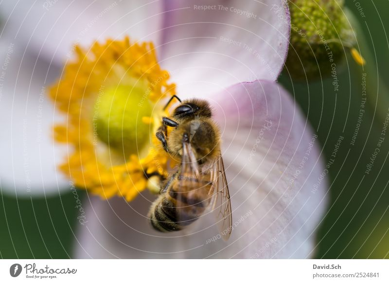Biene auf einer Blüte Natur Tier Blume Wildtier Tiergesicht Flügel Behaarung Insekt 1 Arbeit & Erwerbstätigkeit berühren Fressen hängen nah gelb grün violett