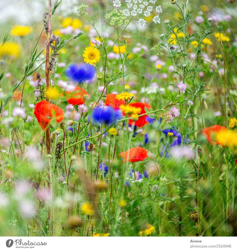 nicht nur montags Blumen Pflanze Mohnblüte Kornblume Margerite Wiesenblume Blumenwiese Blühend Wachstum blau mehrfarbig gelb grün rot Lebensfreude Idylle Natur