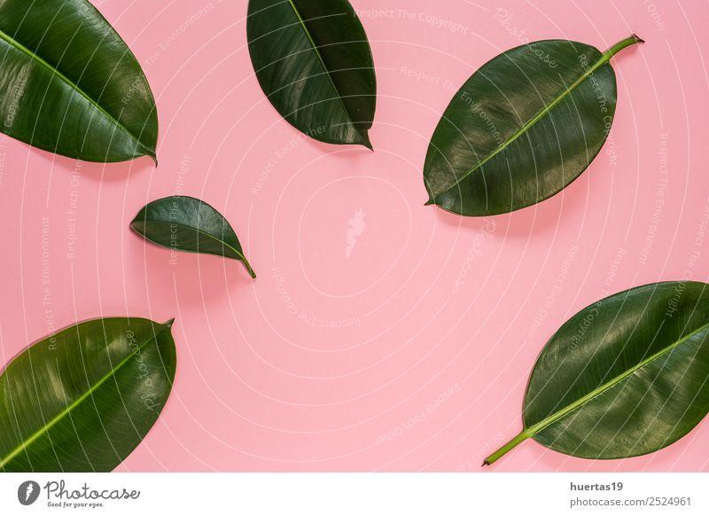 Blatt einer tropischen Pflanze Lifestyle elegant Stil exotisch Garten Natur Baum Wald Urwald natürlich grün Schot Palme Handfläche Ficus flache Verlegung