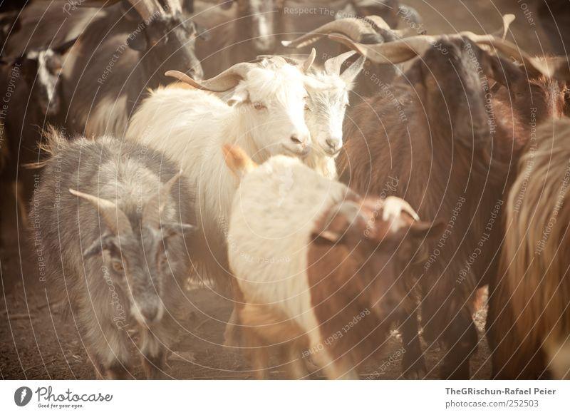 Shaun the goat:-) weiß Gesicht schwarz grau braun Erde gold Nase Tiergruppe Tiergesicht Fell Horn Staub Nutztier Herde Ziegen