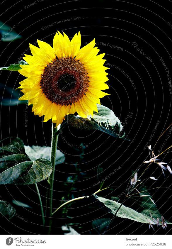 Sonnenblume im Dunkeln Glück schön Sommer Natur Landschaft Pflanze Wolken Blume Blatt Feld Hügel Dorf außergewöhnlich einzigartig gelb grün schwarz August