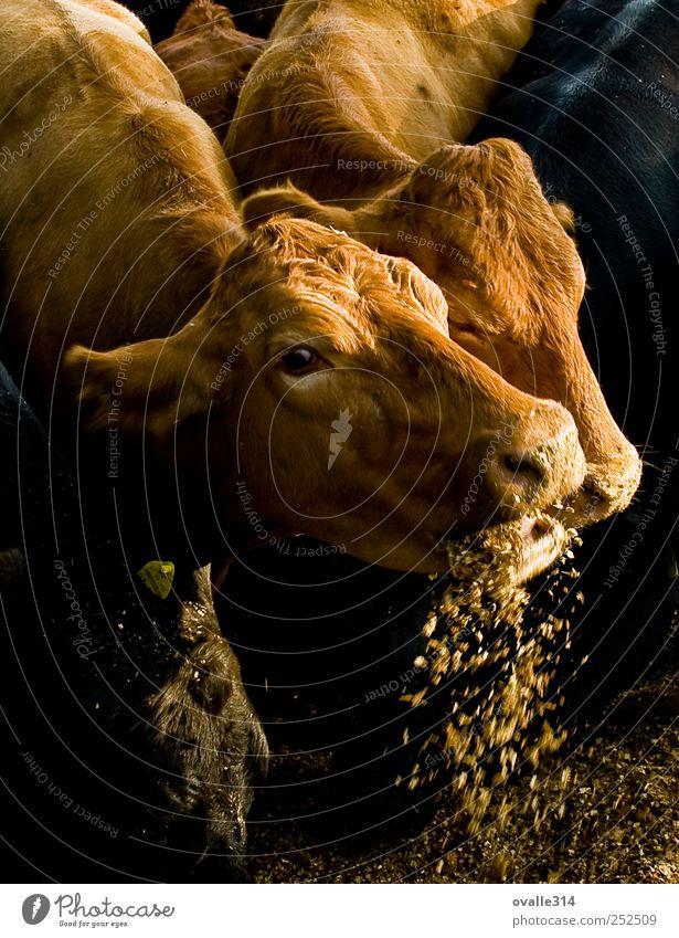 Farbe Tier braun Deutschland Kraft natürlich Tiergruppe Warmherzigkeit Schutz nah Tiergesicht stark Kuh lecker Fressen füttern