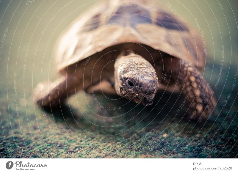 Panzer-Bokeh grün Tier braun Wildtier beobachten Haustier Teppich Krallen Schildkröte Schuppen Schildkrötenpanzer Griechische Landschildkröte