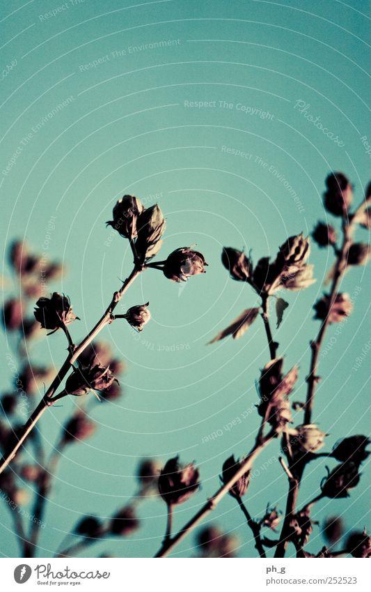It's gonna get cold soon Himmel Natur blau Pflanze kalt Herbst Garten braun Sträucher Schönes Wetter verblüht Grünpflanze Wolkenloser Himmel Hibiscus