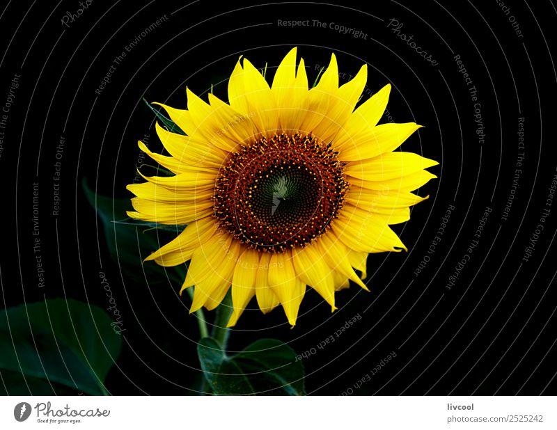 Sonnenblume im Dunkeln II Glück schön Sommer Garten Landschaft Pflanze Wolken Blume Blatt Hügel Dorf Coolness gelb grün schwarz Feld August helianthus anuus