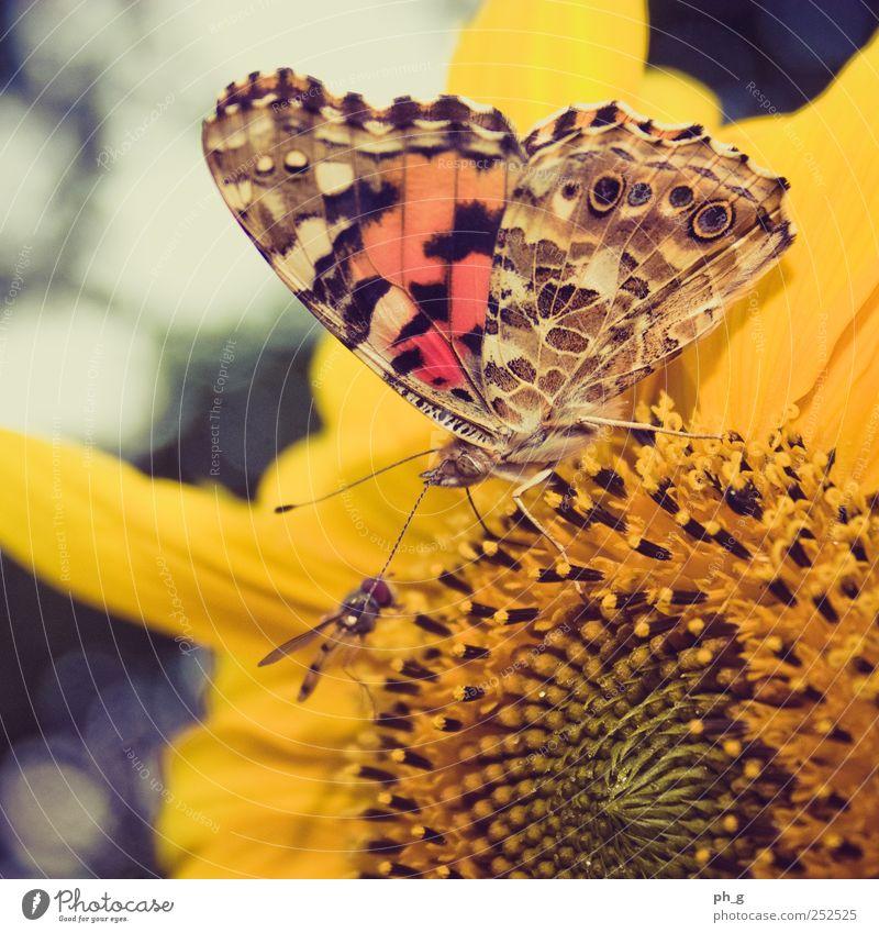 Meet me in the sunflower Pflanze Tier Garten Blüte Fliege Wildtier Flügel Schmetterling Sonnenblume Fressen Fühler Rüssel Schwebfliege Saugrüssel Distelfalter
