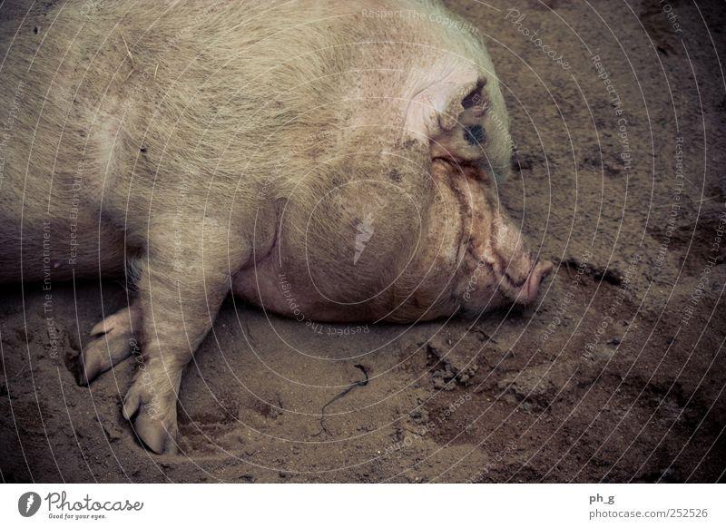 Chill, dude Tier Nutztier Fell Pfote Zoo Streichelzoo Schwein 1 genießen liegen schlafen dreckig braun rosa Zufriedenheit Farbfoto Außenaufnahme Menschenleer