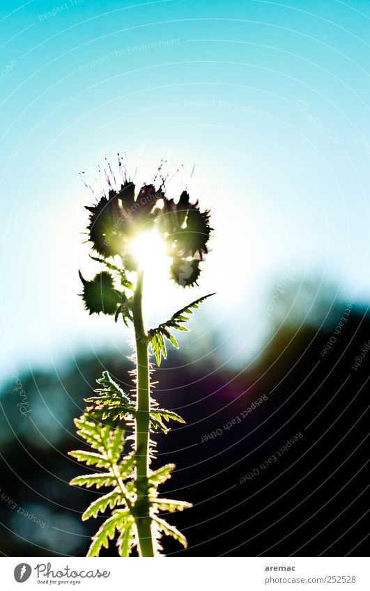 Blümchen im Gegenlicht Natur blau grün Pflanze Blatt schwarz Blüte Stimmung Feld Kraft Wachstum Frühlingsgefühle Nutzpflanze