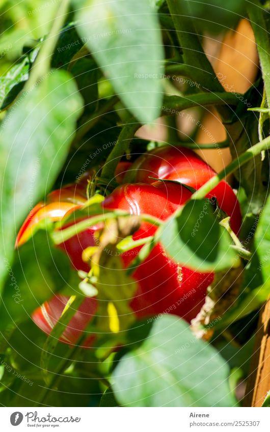 Verstecken gilt nicht! Gemüse Salat Salatbeilage Tomate Biologische Landwirtschaft Rohkost Bioprodukte Sommer Nutzpflanze Tomatenplantage Garten Gemüsegarten