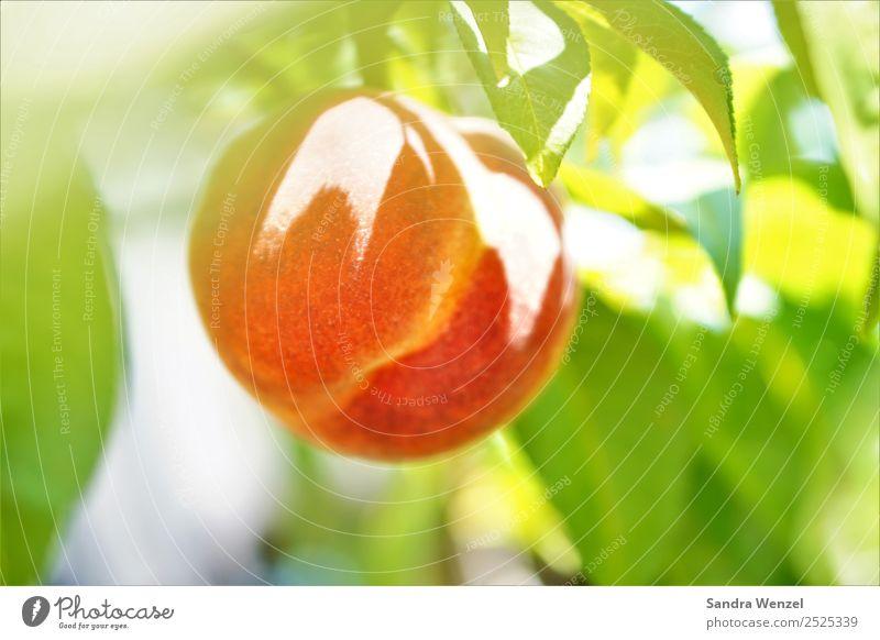 Pfirsich Umwelt Natur Pflanze Sommer Klima Klimawandel Baum Nutzpflanze Garten leuchten frisch Gesundheit lecker saftig gelb grün orange rot Frucht Obstbaum