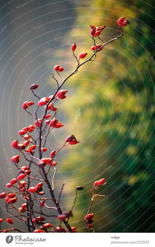 Herbstbogen Natur Pflanze Sträucher Hagebutten Hundsrose Beeren Ast verzweigt Bogen Wachstum dünn lang natürlich schön viele gelb grün rot Stimmung Duft Farbe